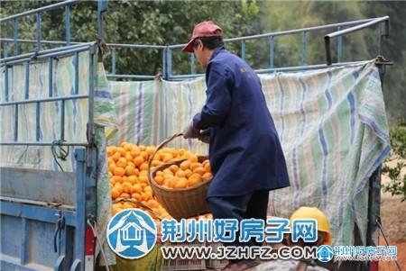 万家乡柑橘